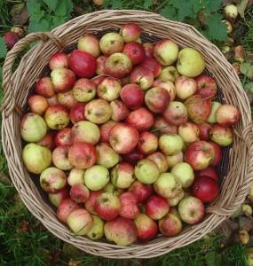 cydr jakie jablka