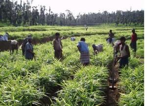 sri lanka tradycyjna uprawa