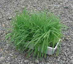 травы, свойства овсяных и использование