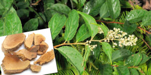 Lei gong teng (Tripterygium wilfordii) Winorośl boga piorunów