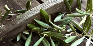 Liść oliwny wlasciwosci i zastosowanie