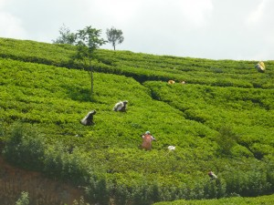plantacja herbaty sri lanka