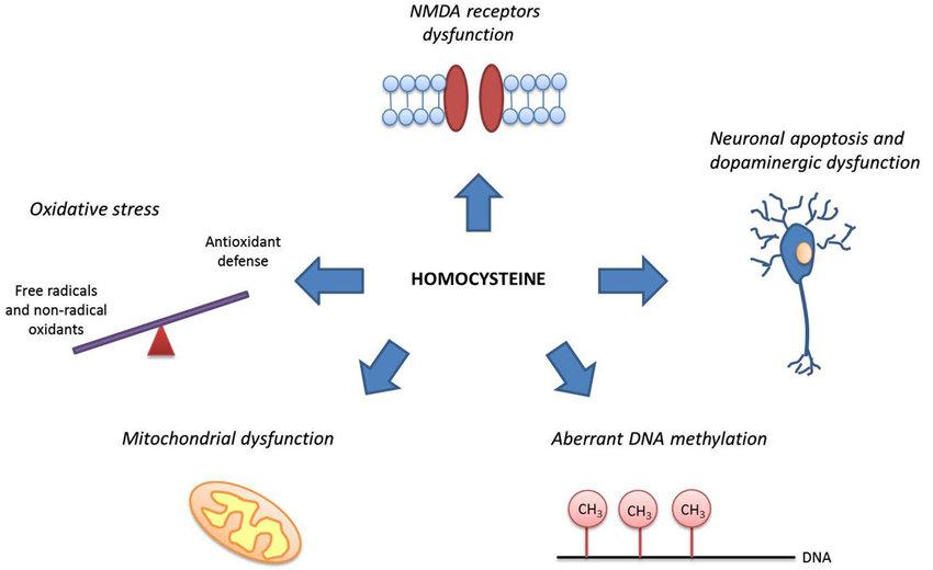 Homocysteina wysoki poziom