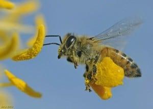 pylek-pszczeli-wlasciwosci-zastosowanie