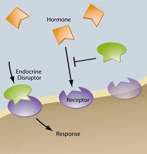ksenoestrogeny-jak-dzialaja