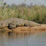 zaczniemy masowo wymierać jak te krokodyle
