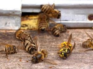 Pestycydy neonikotynoidowe zabijają pszczoły - bezsporne dowody
