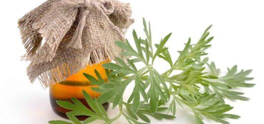 Piołun - magiczne ziele starożytnych kultur. Receptury lecznicze