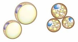 brązowa tkanka tłuszczowa