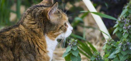 Kocimiętka .. nie tylko dla kotów - receptury i zastosowanie