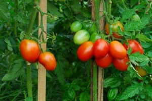 pomidoryadio