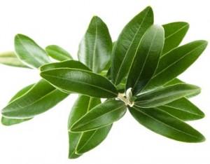 lisc oliwny ekstrat