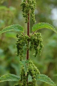 orzeszki pokrzywy nasiona