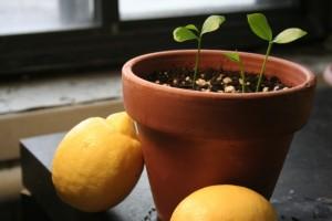 jak wyhodować cytrynę sadzonki cytryny