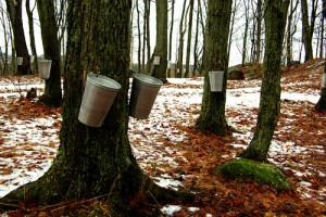 syrop klonowy z pnia drzewa