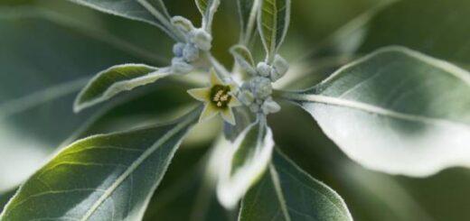 Ashwagandha - witania ospała zwana rośliną wiecznej młodości
