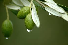 lisc oliwny