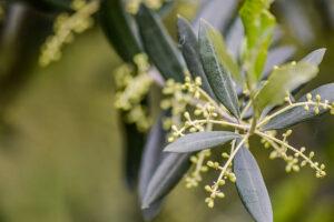 Liść oliwny - niezwykła siła lecznicza starożytnego lekarstwa