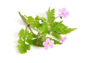 anginka, geranium, pelargonia pachnąca