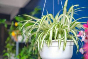 zielistka rośliny oczyszczają powietrze