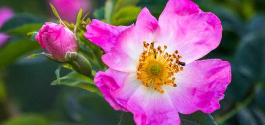 dzika róża, płatki dzikiej róży owoce