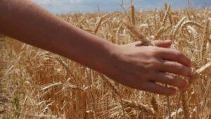 Rolnik, który wysiewa powtórnie własne ziarno uprawia piractwo nasienne