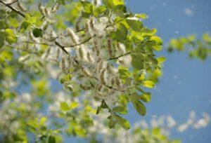 odczulanie alergia pyłki