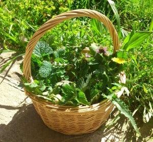 Jakie zioła zbieramy w kwietniu Wiosenna wyprawa po dary Natury