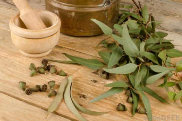 Olejek eukaliptusowy właściwości jak stosować