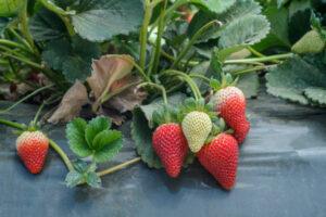 truskawki skażone pestycydami