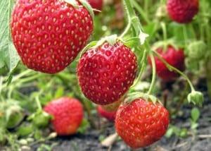 Truskawki na topie parszywej 12 - najbardziej skażone pestycydami