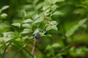 lecznicze jagody przepisy borówka