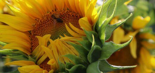 Słonecznik - kwiat słońca. Receptury lecznicze z kwiatów i pestek