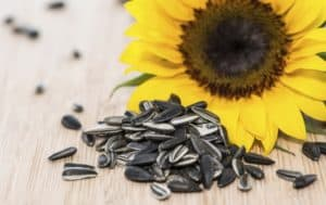 kwiat słonecznika, pestki właściwości