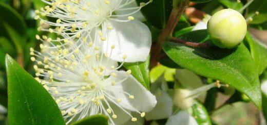 mirt roślina właściwości