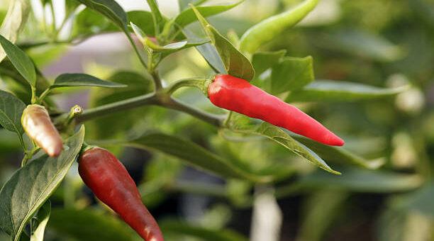 Papryczka chili - pikantna uzdrowicielka. Receptury lecznicze i kulinarne