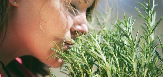 roślina chroni przed promieniowaniem rozmaryn