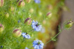 czarnuszka kwiaty i gniazda nasienne