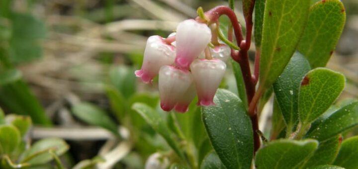 mącznica właściwości, kwiat mącznicy