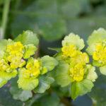 Śledziennica skrętolistna [Chrysosplenium alternifolium]właściwości