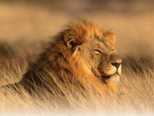 oddech lwa ryczącego