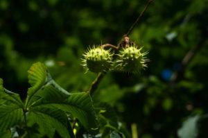 młode kasztany, kwiaty kasztanowca