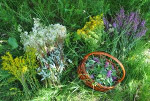 jakie zioła zbieramy w lipcu