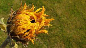 kwiat słonecznika, płatki lecznicze