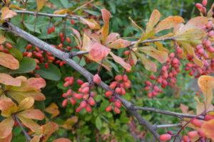 Berberys zwyczajny [Berberis vulgaris]