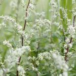 Bylica pospolita na osłabienie, pasożyty i układ pokarmowy