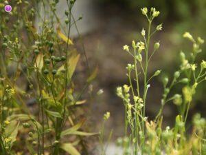 Lnianka siewna i olej rydzowy - zalety i zastosowanie prastarej rośliny