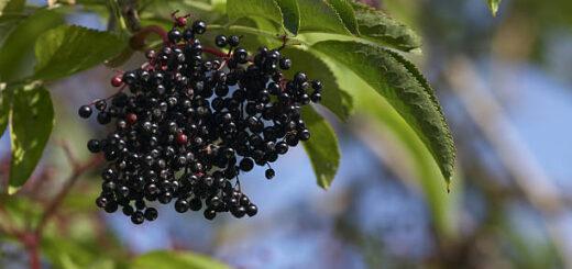 Owoce czarnego bzu - przepisy na domowe przetwory
