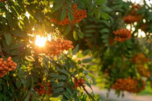 Październik to czas zbioru wielu cennych ziół do domowej apteczki