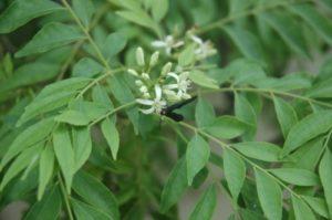 curry liście, drzewo koenigii
